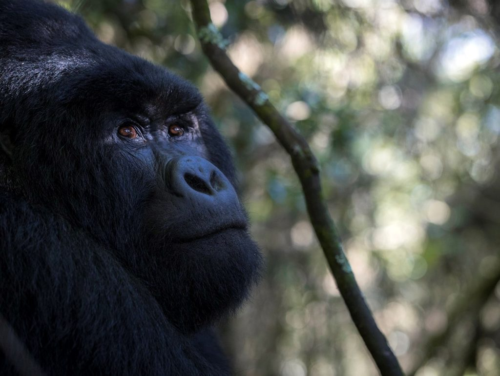 Mountain Gorilla tour in Africa